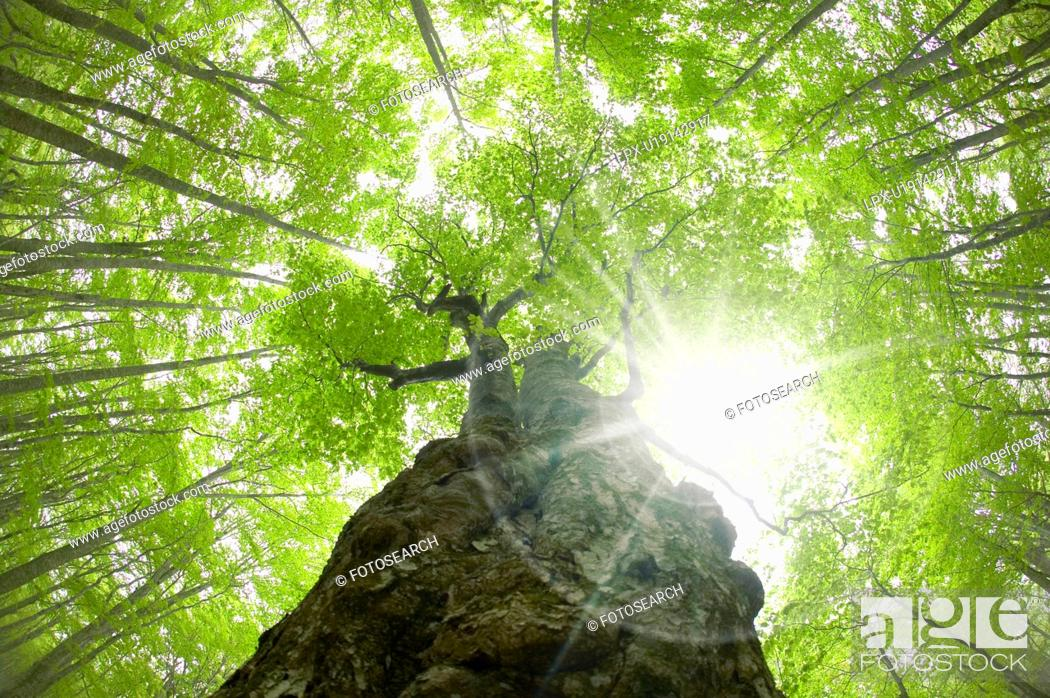 Stock Photo: Beech forest, Tsuta-numa, Aomori Prefecture, Japan.