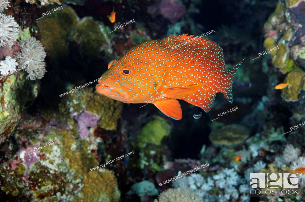 Photo de stock: Given its distinctive colour pattern the coral hind Cephalopholis miniata is not too difficult to identify Despite appearing to live a solitary existance.