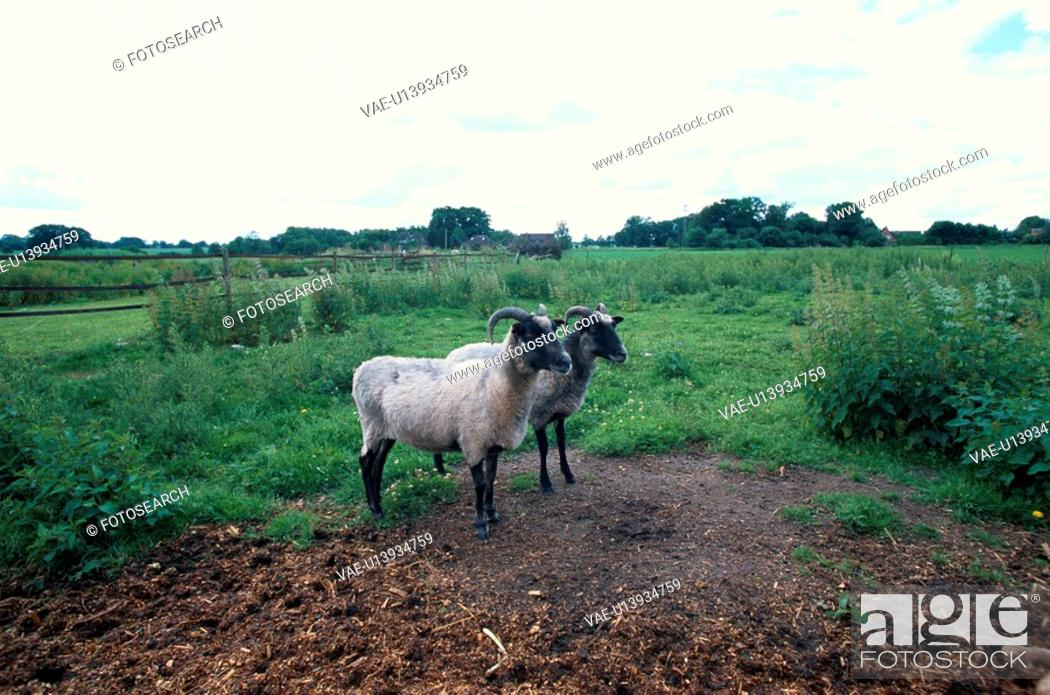 Stock Photo: Two Sheep In Field.