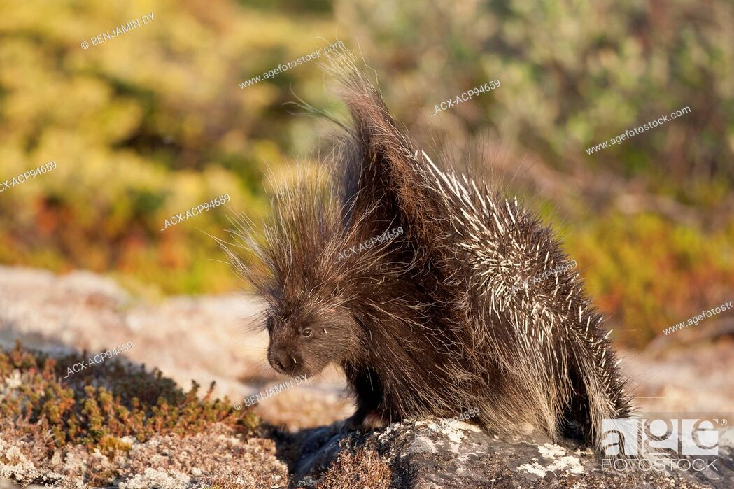 Stock Photo: Porcupine, Erethizon dorsata, Hudson bay, Nunavik, Quebec, Canada.