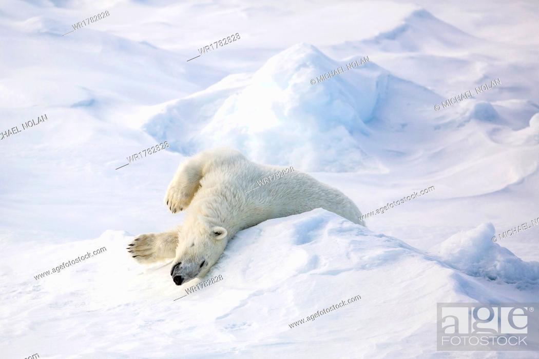 Photo de stock: Adult polar bear (Ursus maritimus) stretching on first year sea ice in Olga Strait, near Edgeoya, Svalbard, Arctic, Norway, Scandinavia, Europe.