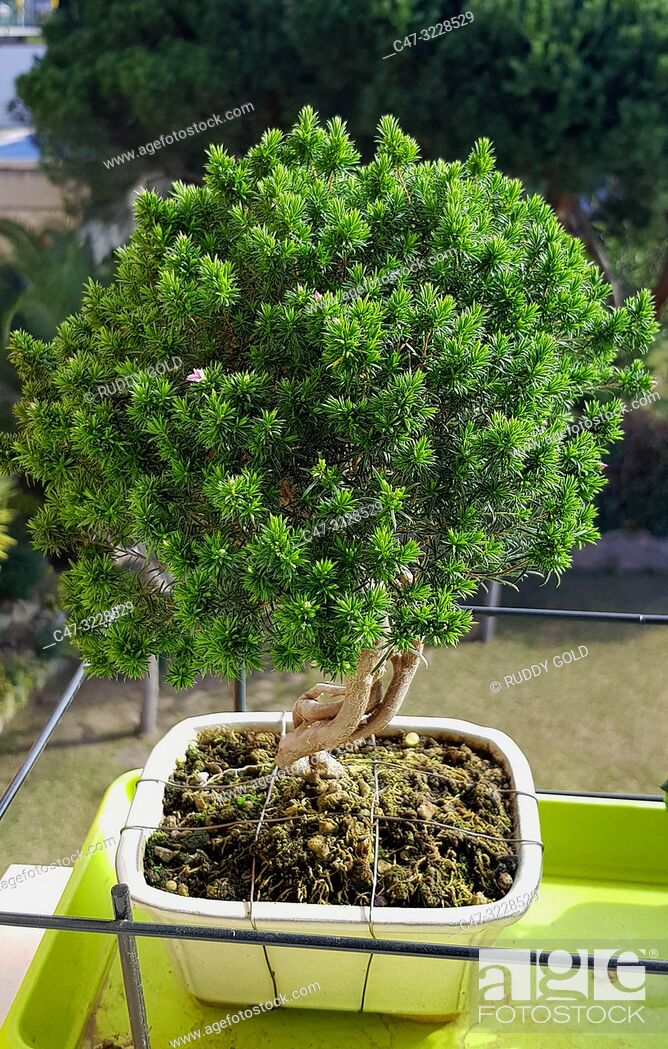 Imagen: Breath of Heaven, Coleonema or Cape May bonsai tree, because of their fragrance when the leaves are crushed. Shaped Coleonema bonsai- El Maresme.