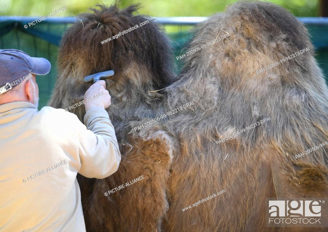 Stock Photo: 06 May 2020, Hessen, Frankfurt/Main: Animal keeper Walter Arlt combs out the thick winter fur of a camel in the Trampeltier-Anlage at Frankfurt Zoo.