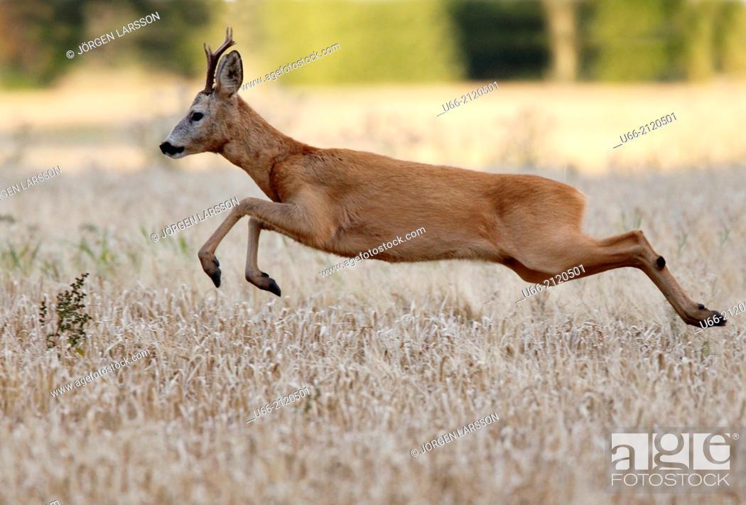 Stock Photo: Roe deer buck jumping, Botkyrka, Stockholm, Sweden.