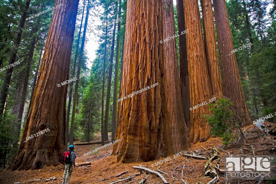 Stock Photo: A stand of Giant Sequoia Trees along the Redwood Canyon Trail at Sequoia National Park, California.