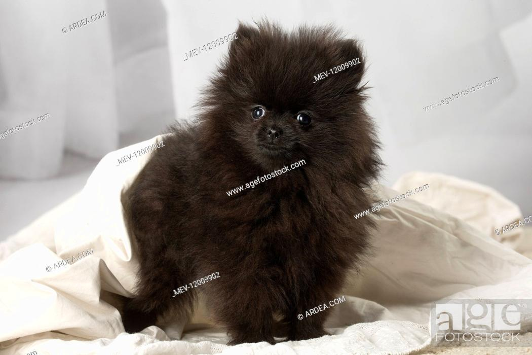 Black Pomeranian Puppy Indoors Stock Photo Picture And Rights Managed Image Pic Mev 12009902 Agefotostock