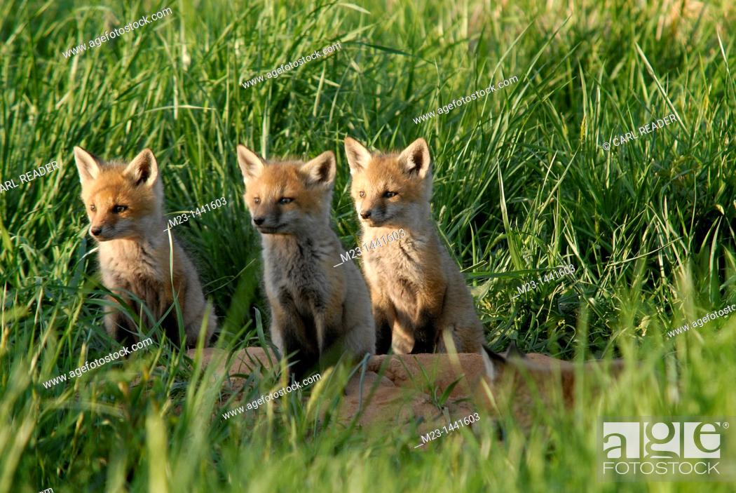 Imagen: Three red fox kits focus on what's happening off to the side, Pennsylvania, USA.