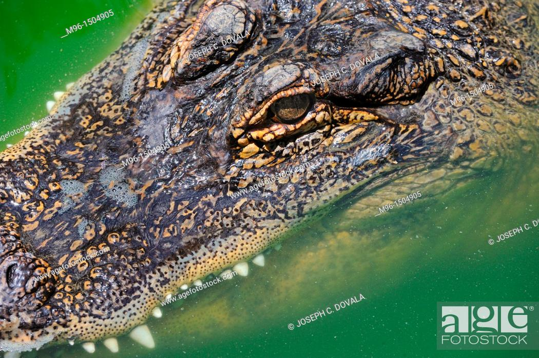 Stock Photo: American alligator, Alligator mississippiensis, Angeles National Forest, California, USA.