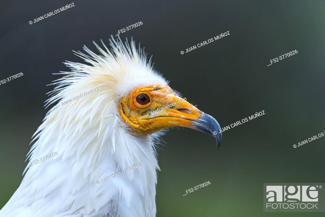 Photo de stock: Detail of the head of an Egyptian Vulture (Neophron percnopterus). White scavenger vulture or pharaoh's chicken. In Spanish Alimoche común, abanto, â.