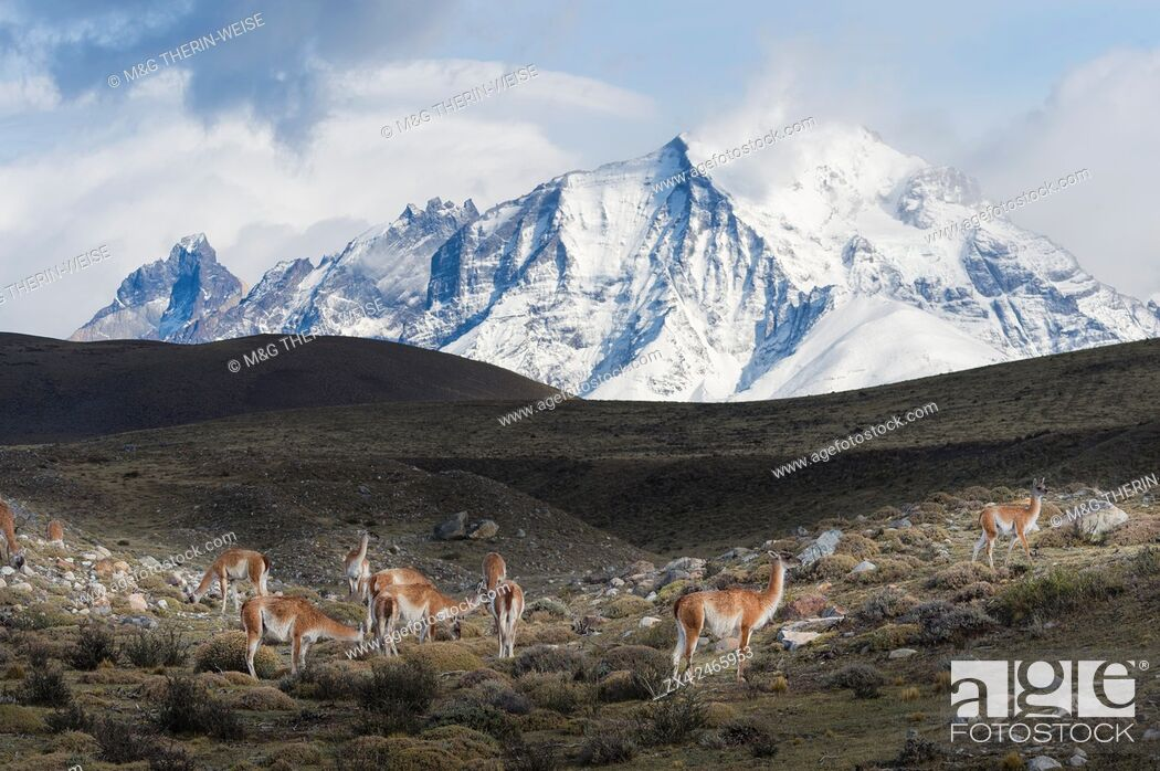 Imagen: Guanacos (Lama guanicoe) on a ridge in front of snow-capped mountains, Torres del Paine National Park, Chilean Patagonia, Chile.