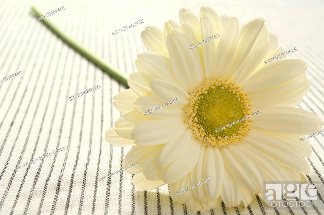 Stock Photo: Gerbera flower.