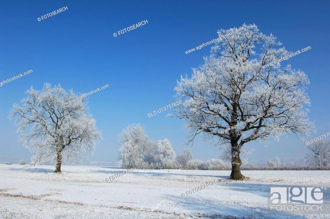 Stock Photo: Frosty trees.