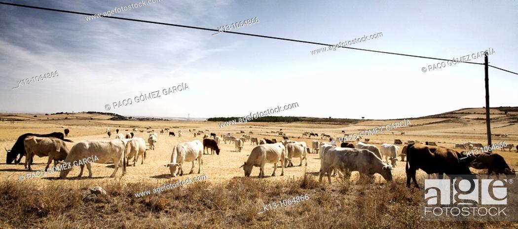 Stock Photo: ESP= Vacas en los campos de Zamora  Castilla-León  España ENG= Cows in Zamora country  Castile-Leon  Spain.