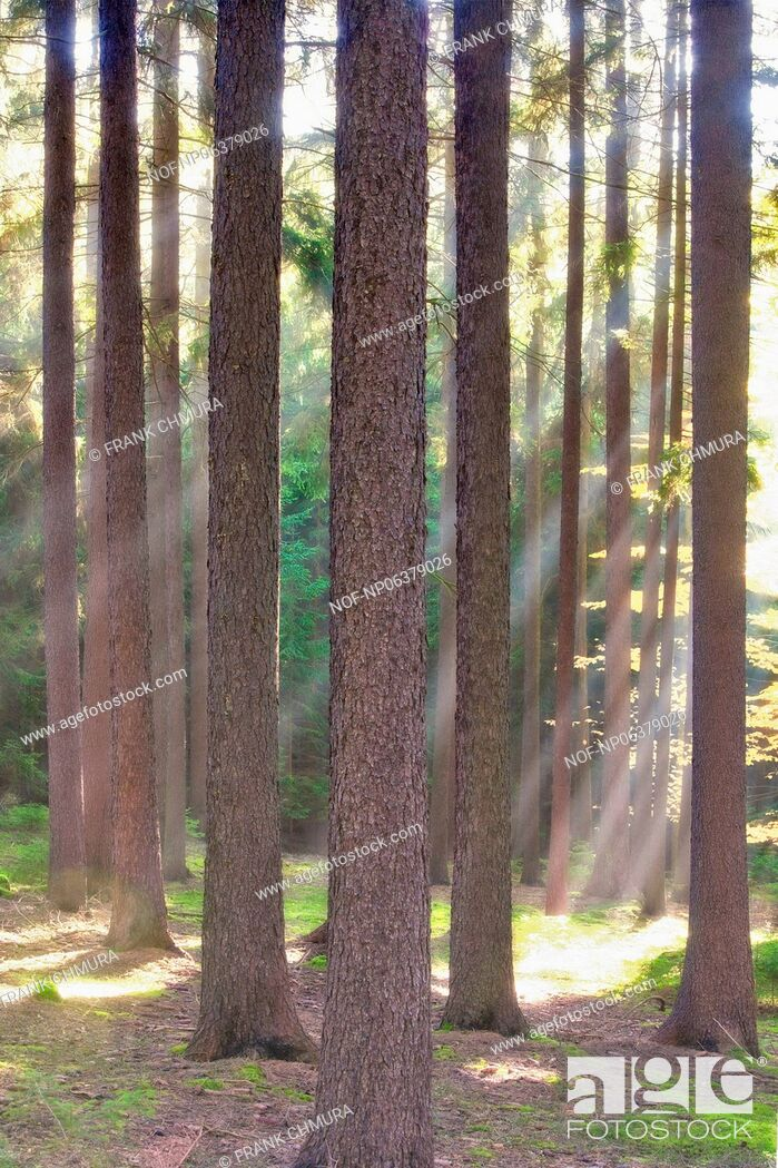 Stock Photo: autumn forest scene with sunrays shining through branches.