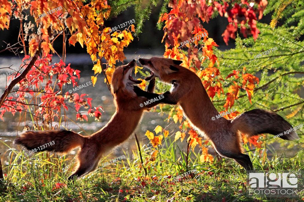 Stock Photo: Red Fox  Adult  Vulpes vulpes  Order : Carnivora  Family : Canidae.
