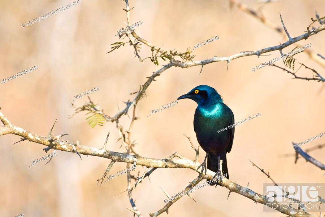 Imagen: A glossy starling (Lamprotornis nitens) sitting on a branch, Kruger National Park, South Africa.