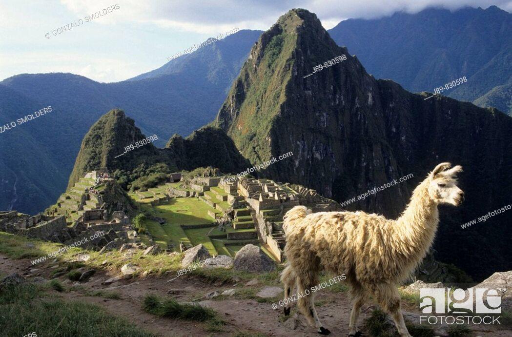 Stock Photo: Llama (Lama glama) and Machu Picchu in background. Peru.