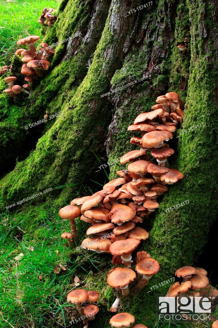 Stock Photo: Fungi growing on an old moss covered tree, Buttermere, Lake District, Cumbria, England, Europe.