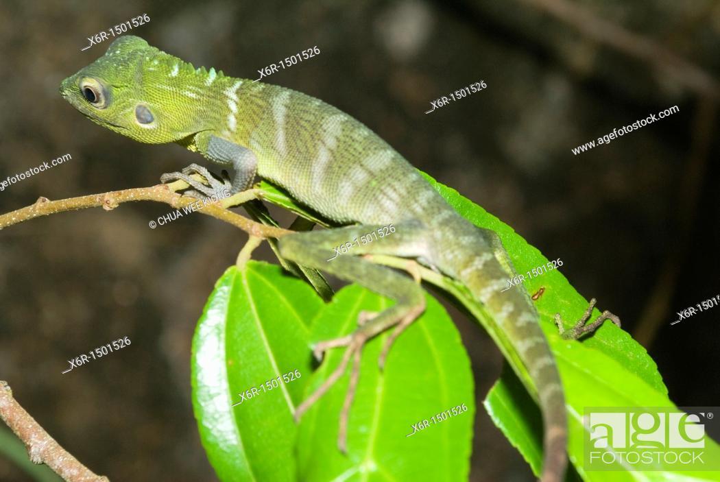 Stock Photo: Chamelion Green Crested Lizard of Gunung Garding Sarawak, Malaysia.
