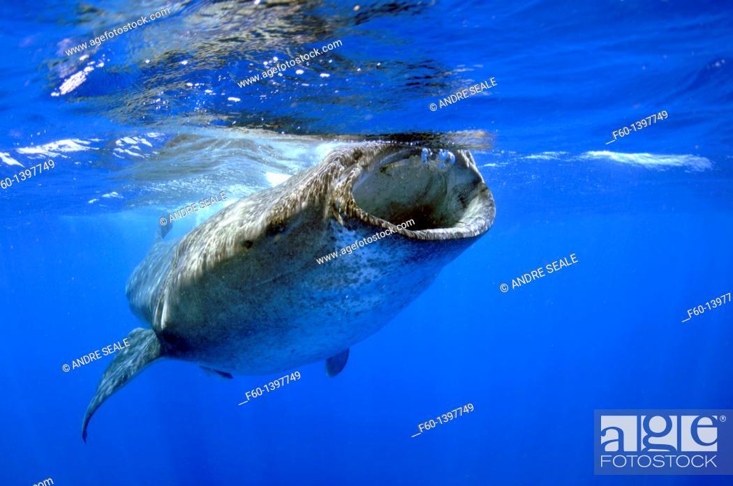 Stock Photo: Whale shark, Rhincodon typus, Quintana-Roo, Mexico, Caribbean Sea.