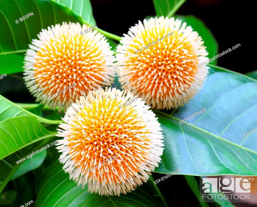 Stock Photo: Neolamarckia cadamba or Kodom flower of Bangladesh.