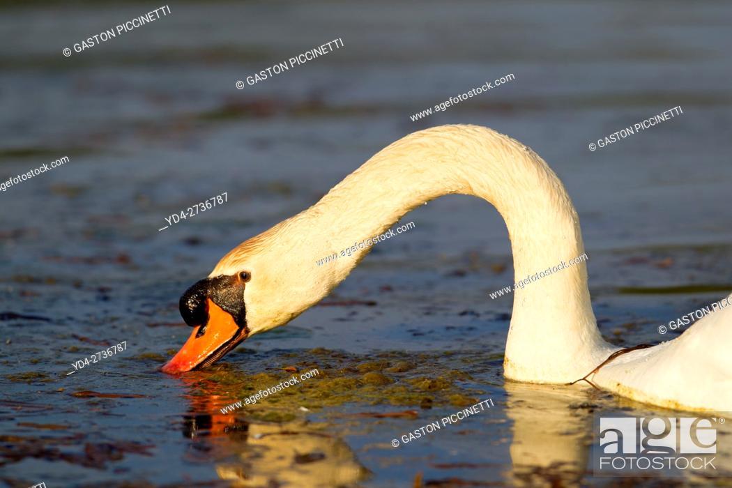 Stock Photo: Mute swan (Cygnus olor), in the pond, Rising Sun, Indiana, USA.