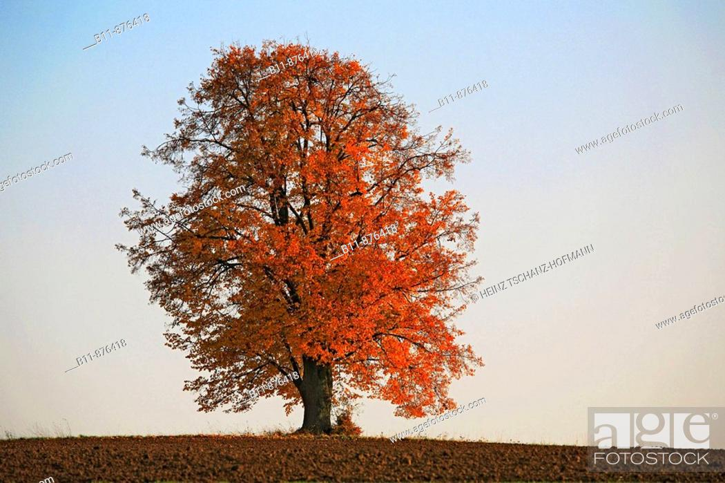 Stock Photo: Limetree in autumn.