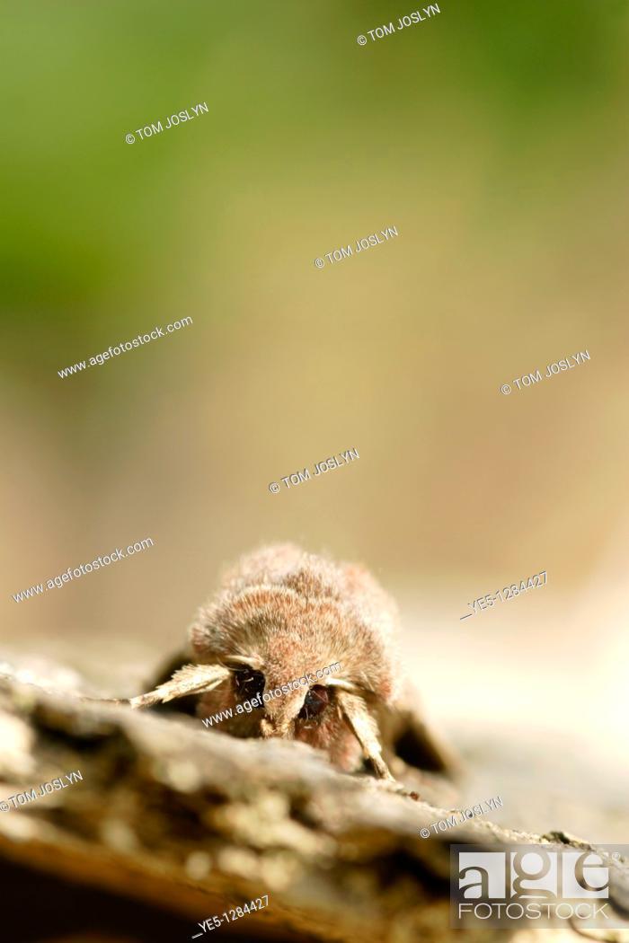Stock Photo: Hebrew Character moth Orthosia gothica on bark, England , UK.