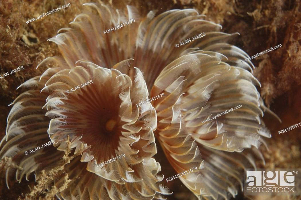 Stock Photo: Feather Duster Worm Species unknown Babbacombe, Torquay, South Devon, UK.
