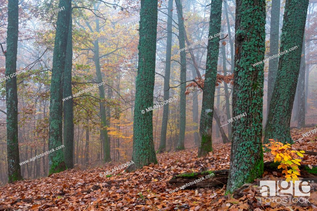 Photo de stock: Autumnl oak woodland in southern Slovakia.