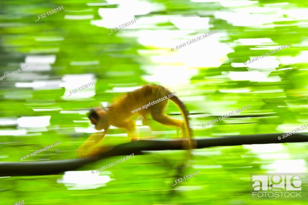 Stock Photo: Squirrel monkey (Saimiri sp.).
