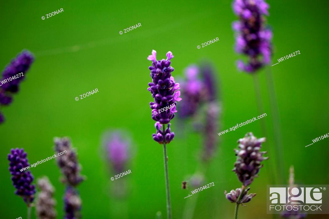 Stock Photo: Lavender.