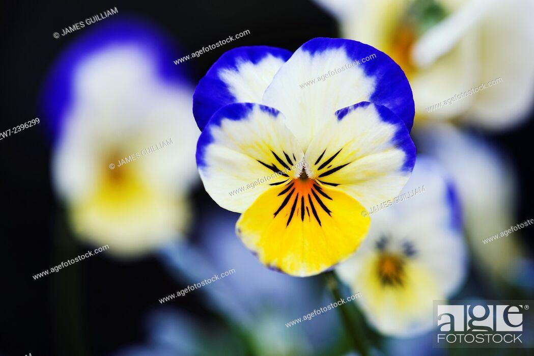 Stock Photo: Viola flower.