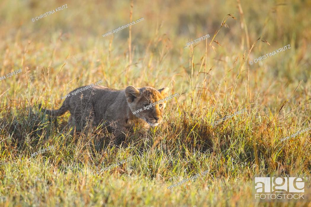 Stock Photo: African Lion (Panthera leo) cub in tall grass, Maasai Mara National Reserve, Kenya, Africa.