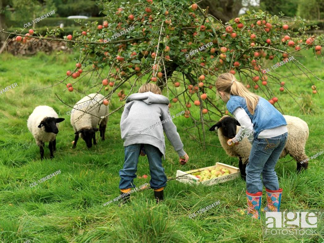 Stock Photo: Girl and boy picking apples with sheep.