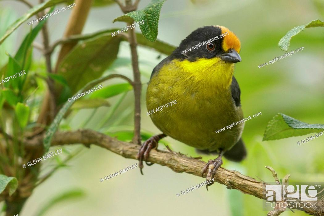 Stock Photo: Pale-naped Brush Finch (Atlapetes pallidinucha) perched on a branch in the mountains of Colombia, South America.