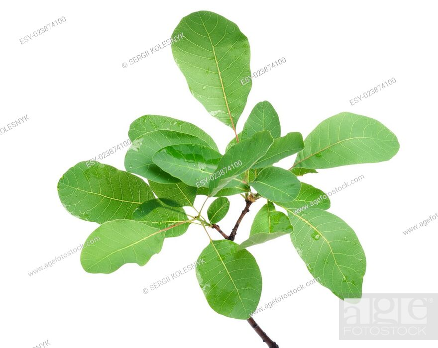 Stock Photo: Branch of green leaves isolated on white background.