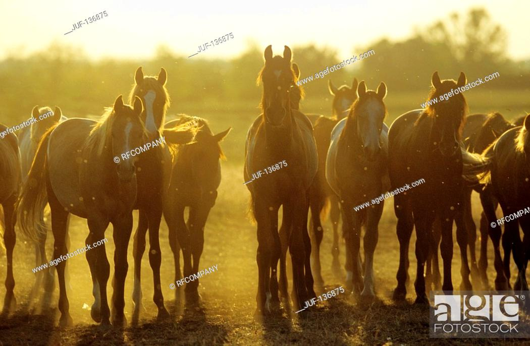 Stock Photo: Arabian horses - herd on meadow - sunset.