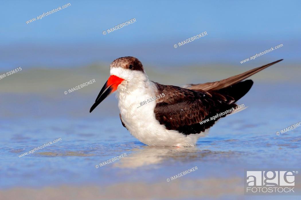 Stock Photo: Black Skimmer (Rynchops niger), Florida, USA, North America.