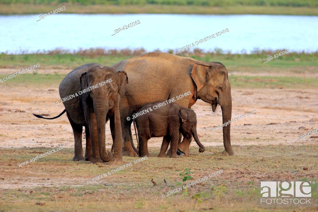 Stock Photo: Sri Lankan elephant (Elephas maximus maximus), mother with calf, eating, female, group, Yala National Park, Sri Lanka.