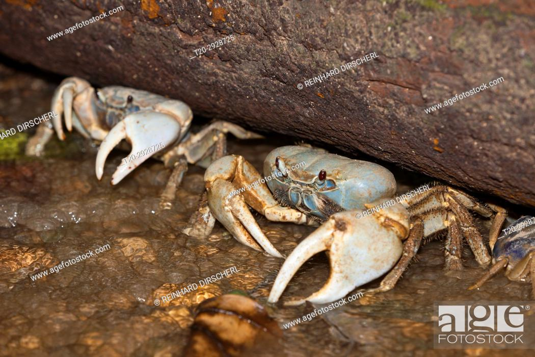 Stock Photo: Christmas Island Blue Crab, Discoplax celeste, Christmas Island, Australia.