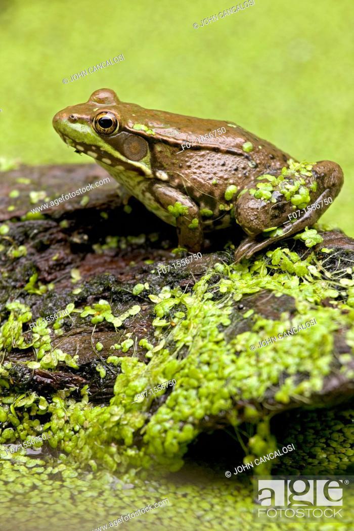 Stock Photo: Green Frog (Rana clamitans) in duckweed, New York, USA.