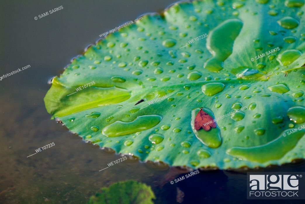 Stock Photo: Dew drops on a water lily leaf.