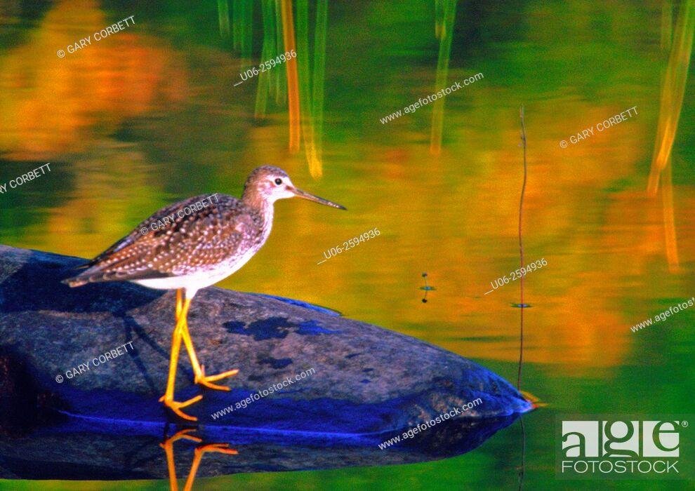 Stock Photo: A yellowlegs shorebird.