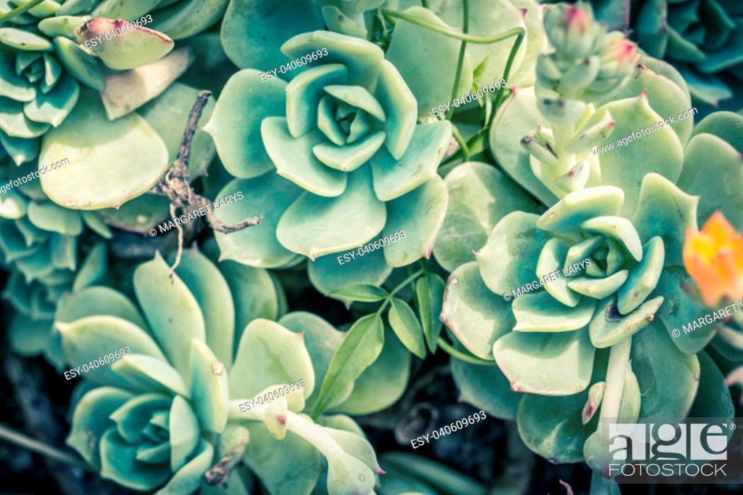 Stock Photo: Beautiful succulent plants, close up.