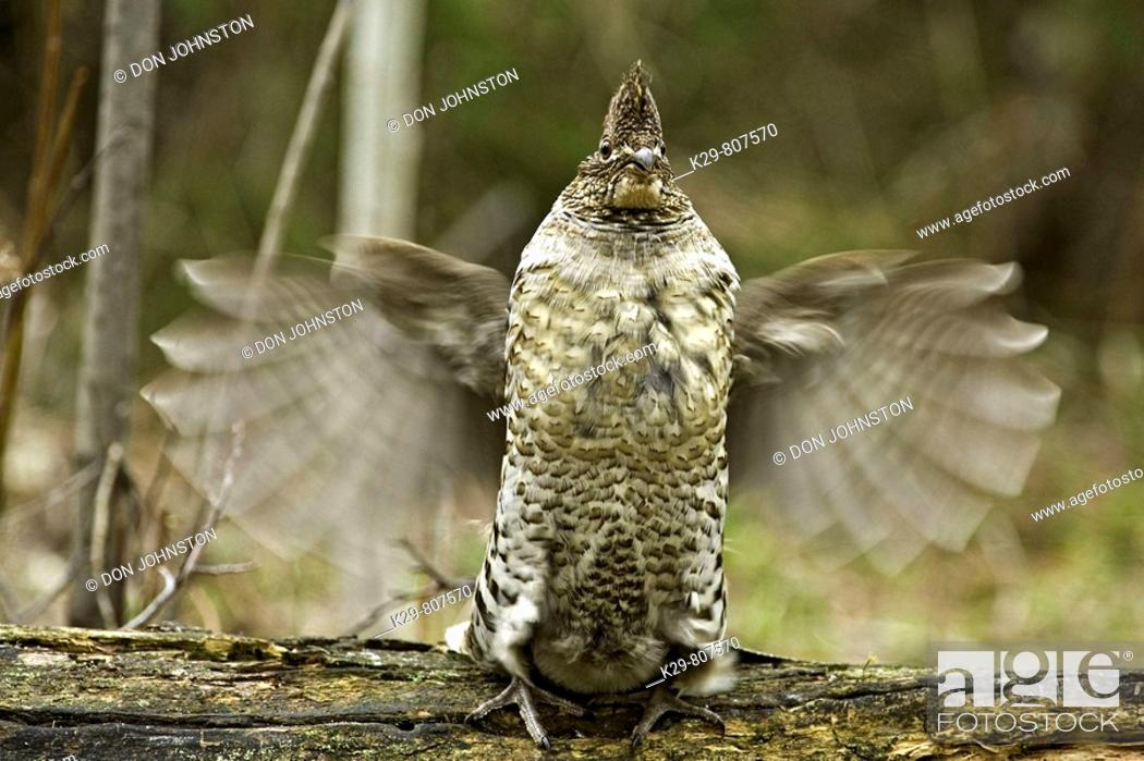 Stock Photo: Ruffed grouse Bonassa umbellus- courtship display-Male drumming on fallen log in forest.