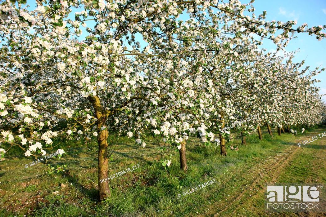 Imagen: tourism, France, upper normandy, eure, bretigny, apple tree flowers, orchard, agriculture, cider, calva, blossoming tree, spring, cider culture.