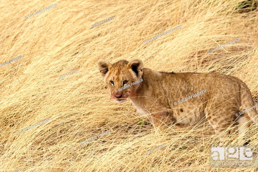 Stock Photo: A lion cub sits in the long grass near his pride in the Masai Mara.