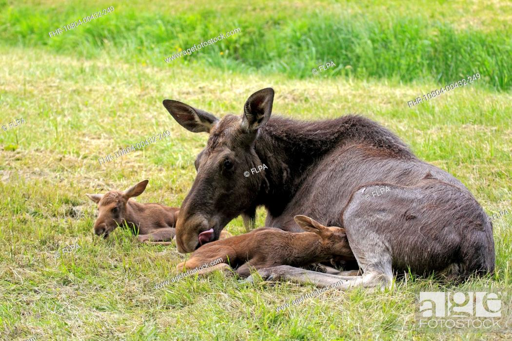 Stock Photo: European Moose Alces alces alces adult female with two calves, suckling, may captive.