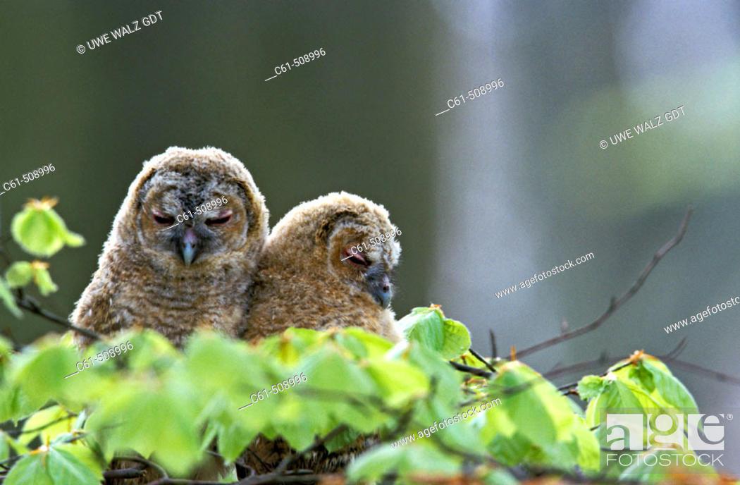 Stock Photo: Tawny Owl, Strix aluco.